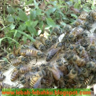 ratu lebah madu lokal apis cerana