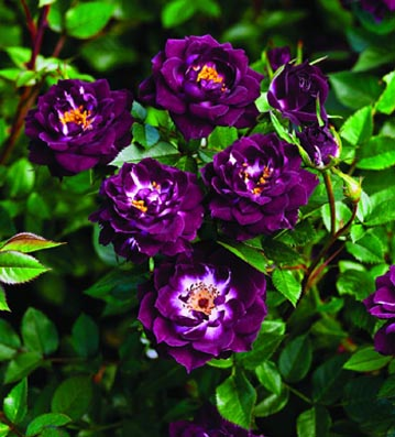 Southern California Gardening New Rose Varieties For 2013