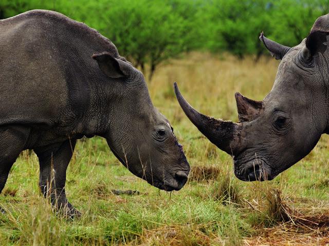 وحيد القرن في جنوب أفريقيا ، على اليسار أنثى وحيد القرن بعد نجاتها من هجوم وحشي للصيادين لانتزاع قرنها