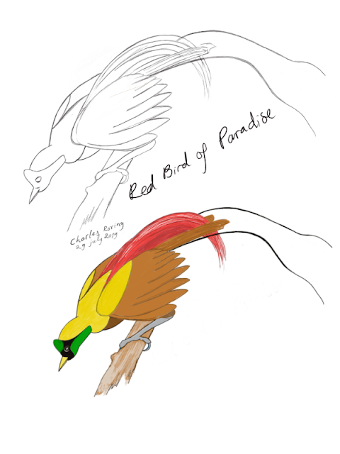 Drawing of Red Bird of Paradise (Paradisaea rubra) created in Autodesk Sketchbook