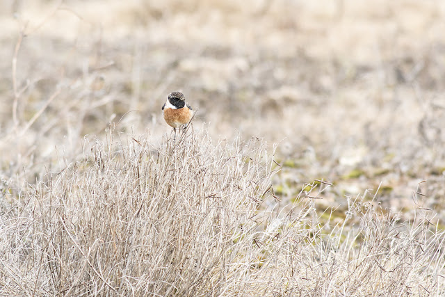 Striking Male Stonechat