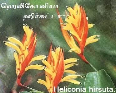 ஹெலிகோனியா ஹிர்சுட்டா - Heliconia hirsuta in Tamil.