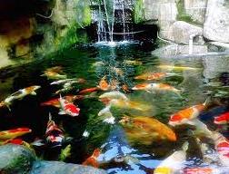 Jenis Ikan Hias Air Tawar koi