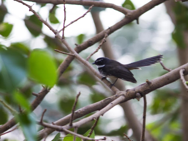 white spotted fantail, bird, peepal tree, bandra east, mumbai, india,