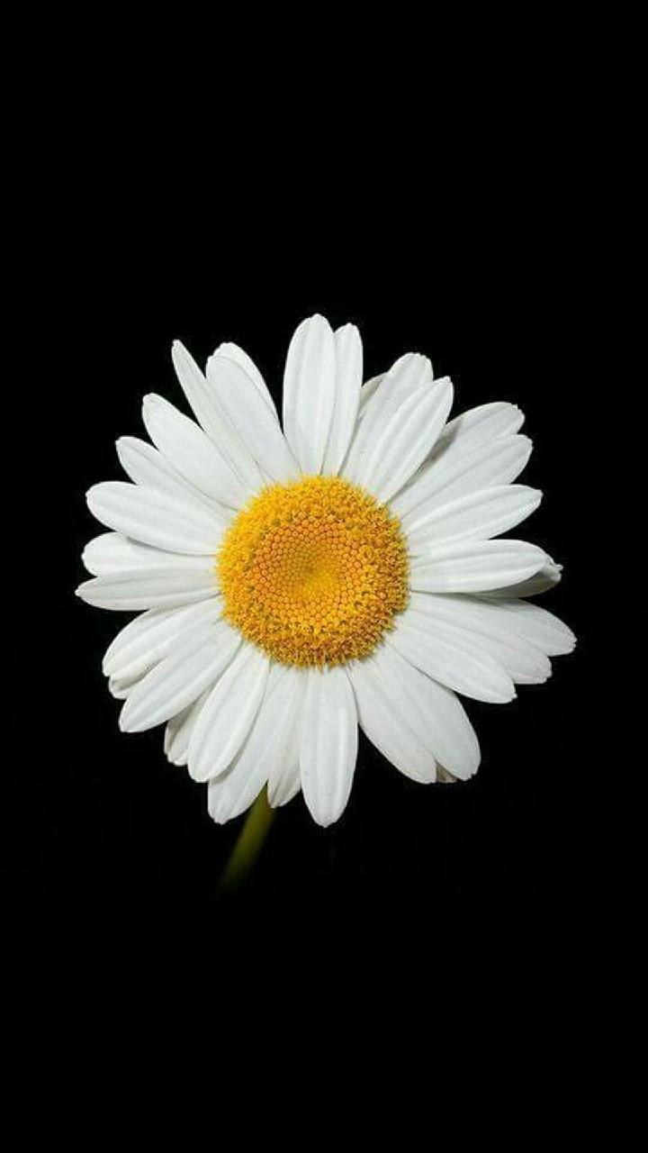 Hinh nen hoa cuc dep%2B%25285%2529