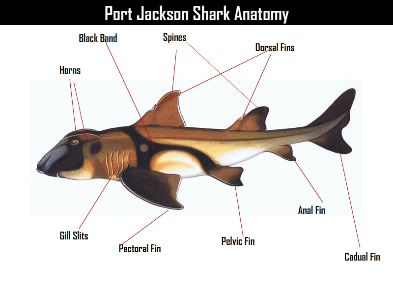 Port Jackson Shark Facts, Images and Other Info | All Five Oceans