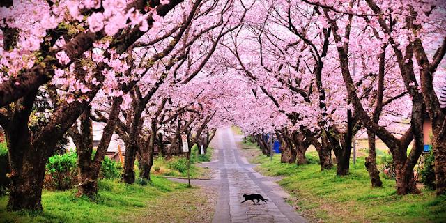 Resultado de imagem para sakura no japao