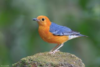 Download Suara Masteran Kicau Burung Anis Merah Gacor Juara