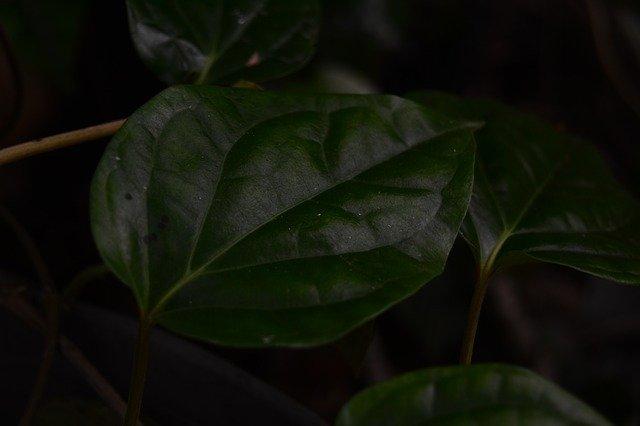 daun sirih untuk kesehatan