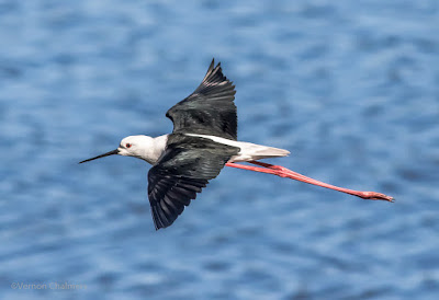 Black-winged Stilt in Flight Cape Town  : Canon EOS 7D Mark II / 400mm Lens