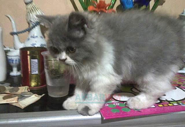 Gambar kucing anggora abu-abu