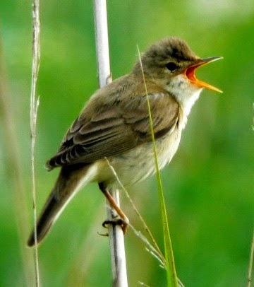 Suara burung marsh warbler untuk masteran