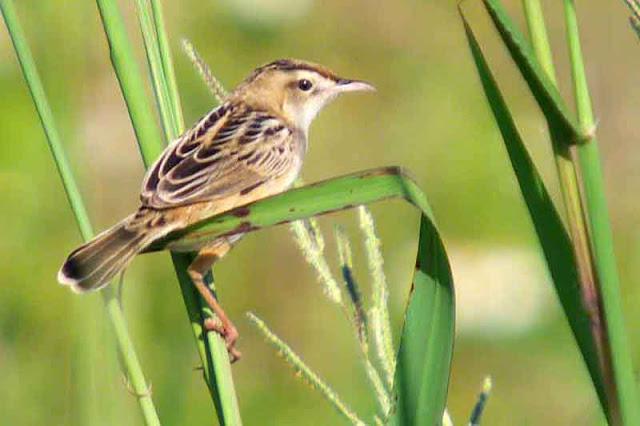 bird, Streaked Fantail Warbler, Cisticola juncidis, Okinawa, wildlife