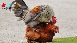 Mengawinkan Indukan Ayam Kampung