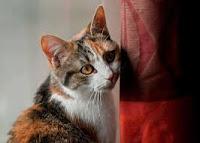 मेरी पालतू बिल्ली