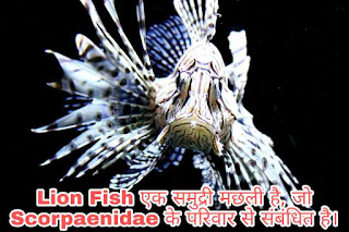 Lion Fish, Lion Fish Look,Lion Fish Size,Lion Fish Found, Lion Fish Life Cycle, Types Of Lion Fish, Lion Fish Facts, Red Lion Fish,Lion Fish Eat, Lion Fish Benefit