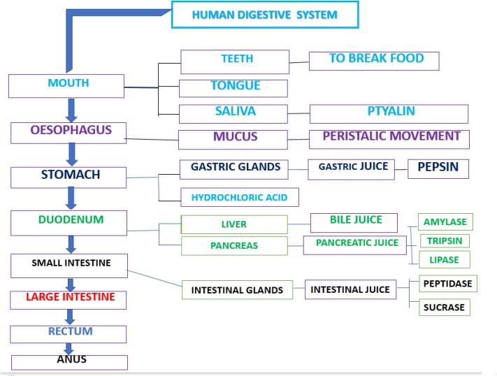 Biology Material Interactive Methods In Science Human Digestive