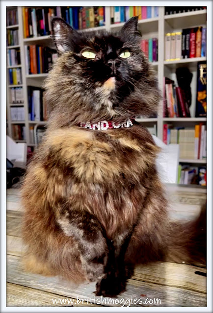 beautiful Siberian cat in a library wearing a diamante collar