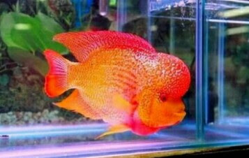 ikan louhan golden red