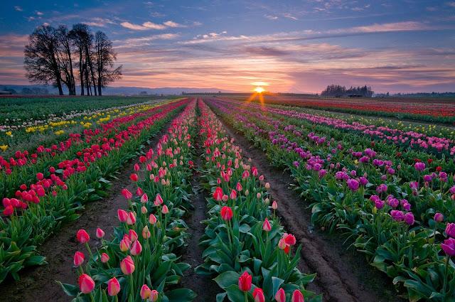 Foto veld vol verschillende kleuren tulpen