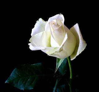 setangkai mawar putih