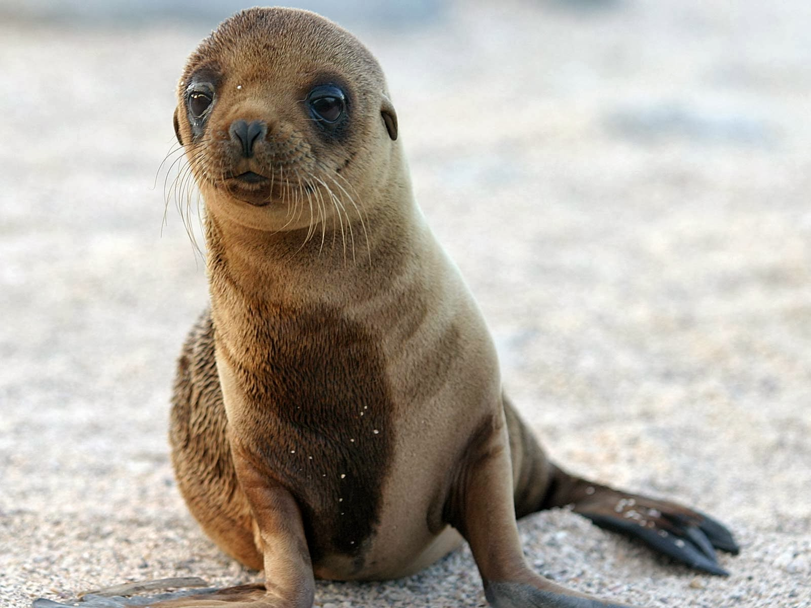 California Sea Lion Wallpapers