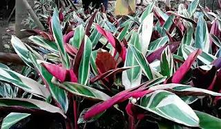 Jual Tanaman Hias Meranti Bali Merah