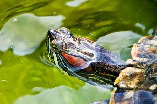 موضوع شامل عن السلاحف البرمائيه او الترس المائيه بالصور والفديو على ماستر زووووو