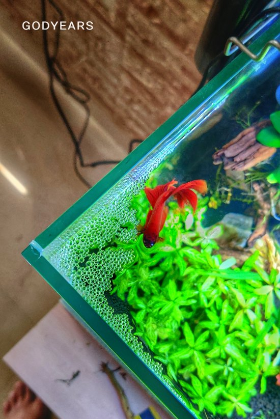 The Unique Bubble Nest of the Betta Fish / siamese fighting fish