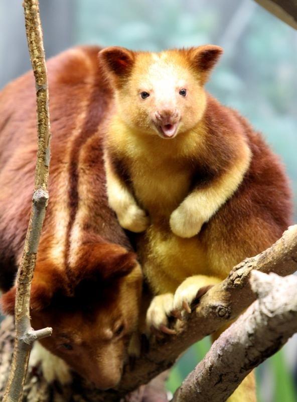 WildLife: Tree Kangaroo - Animal Facts and Photos