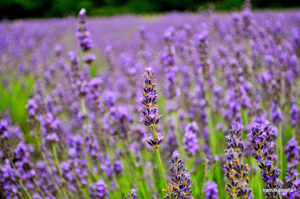 Lavender Festival - Goseong