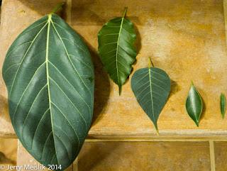 mengecilkan daun bonsai