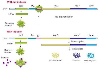 Sebuah sel hidup mempunyai ribuan enzim yang berbeda Enzim : Aktivitas, Sintesis, Induksi, Represi, Operon, Degradasi, Pengaturan, Katalitik