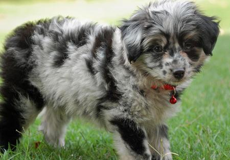 The dog in world: Australian Shepherd dogs