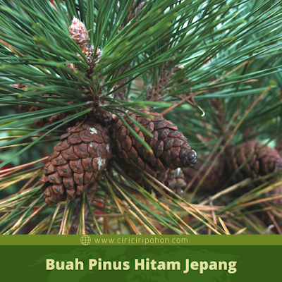 Ciri Ciri Buah Pinus Hitam Jepang
