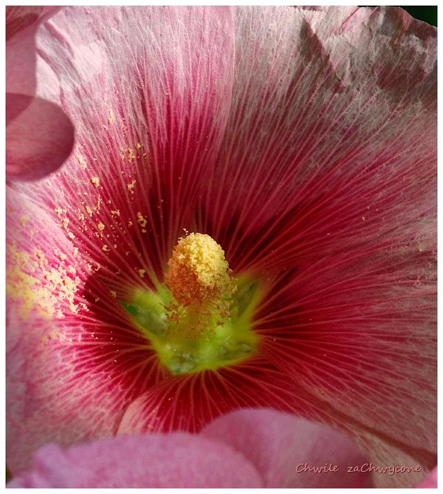 malwa różowa, Alcea rosea, malwa ogrodowa