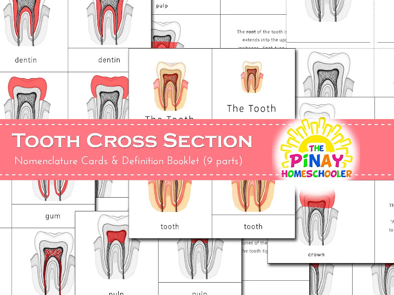 Montessori 3-Part Cards Tooth Cross Section