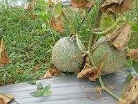 Budidaya Melon dengan Sistem Tanam Benih langsung