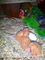 Anakan lovebird baru menetas