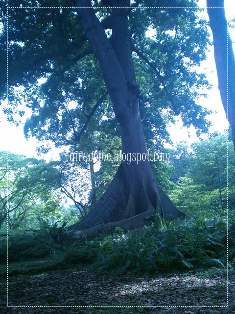 pohon-kapuk