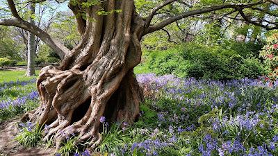 Many Spanish Bluebells around a unique tree