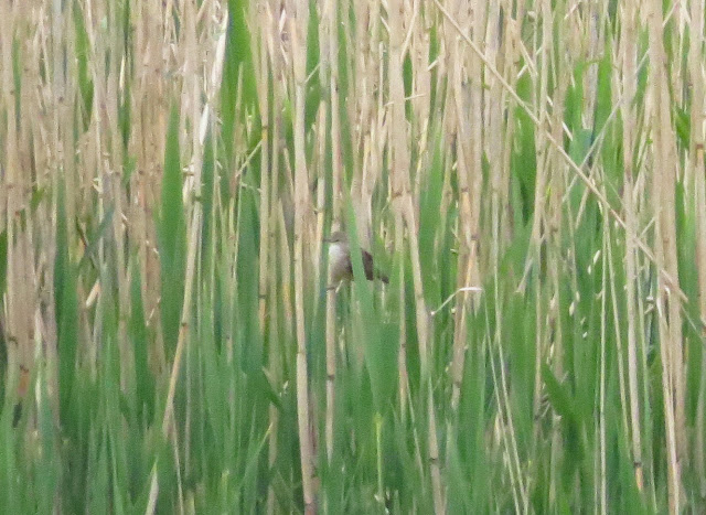 Great Reed Warbler - Albert Village Lake, Leicestershire