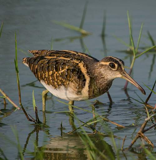 Greater painted-snipe - Rostratula benghalensis
