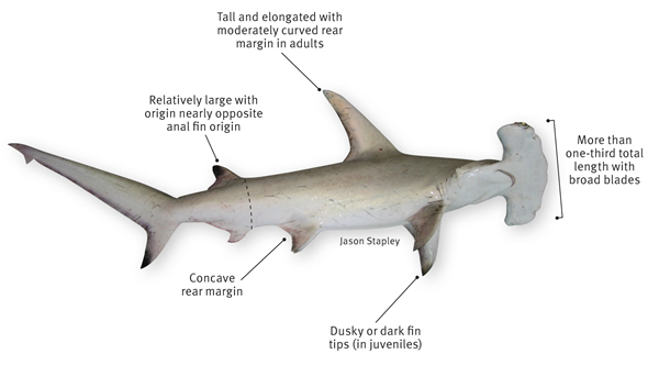 Great White Shark Anatomy Diagram 2003 Dodge Ram Infinity Wiring Animals & Pets: Hammerhead