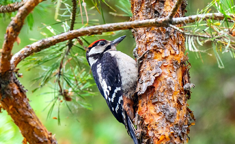 How to Stop Woodpeckers from Destroying Your Home's Siding