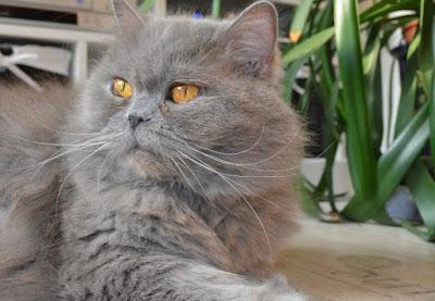 Asal Usul Kucing BLH