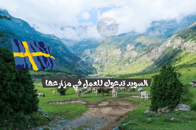 السويد تطلق العمل الموسمي للعمل في مزارعها + روابط التسجيل