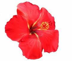 Kau Tahu Tak Bunga Raya Mengapa Ia Dipilih Sebagai Bunga Kebangsaan
