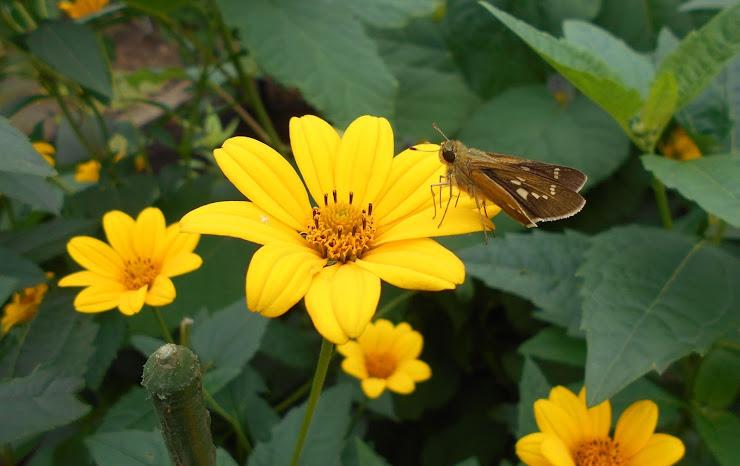 キクイモの花ビラに止まる蝶