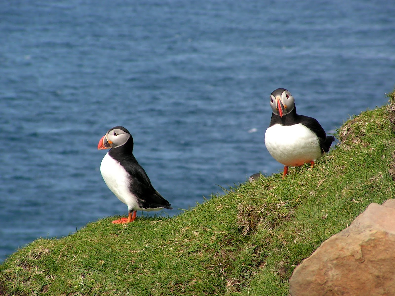 One such a super cute funny creation is The Atlantic Puffin